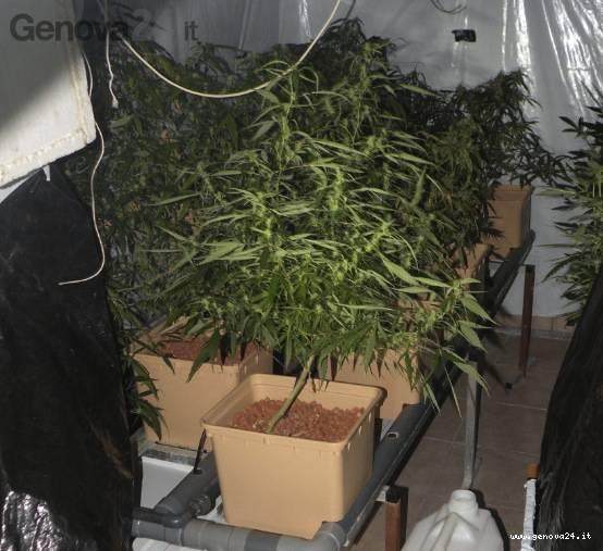 marijuana serra