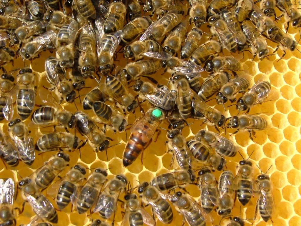 apicoltura api