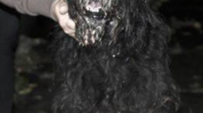 cane nero perso