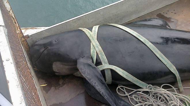 globicefalo, delfino recuperato a zinola