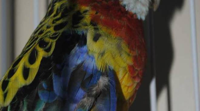 pappagallino smarrito oregina
