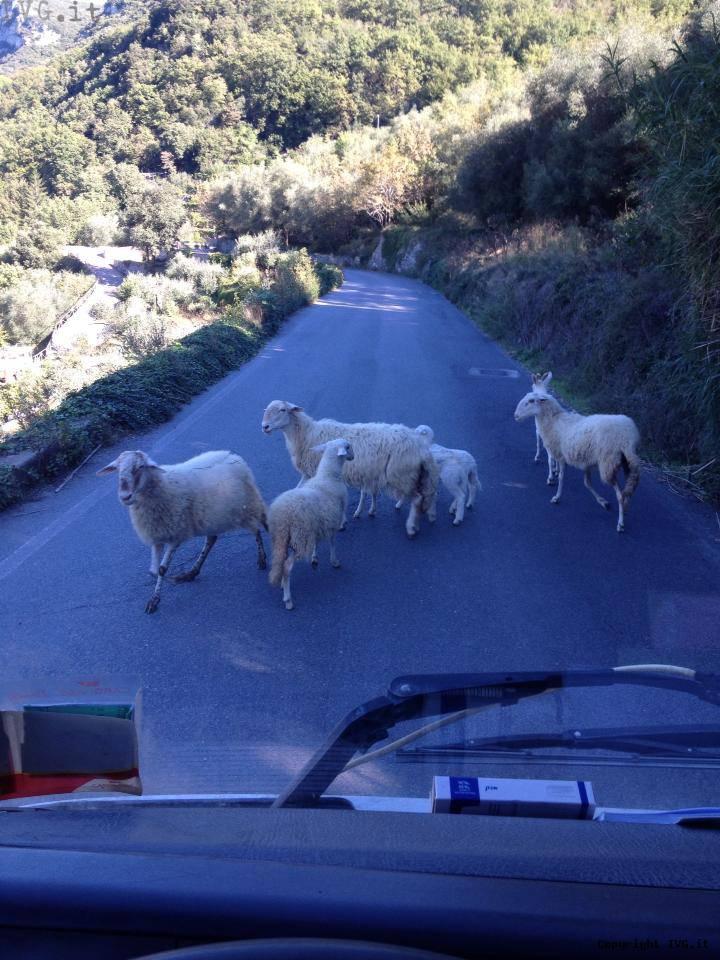 Pecore sulla strada di Feglino