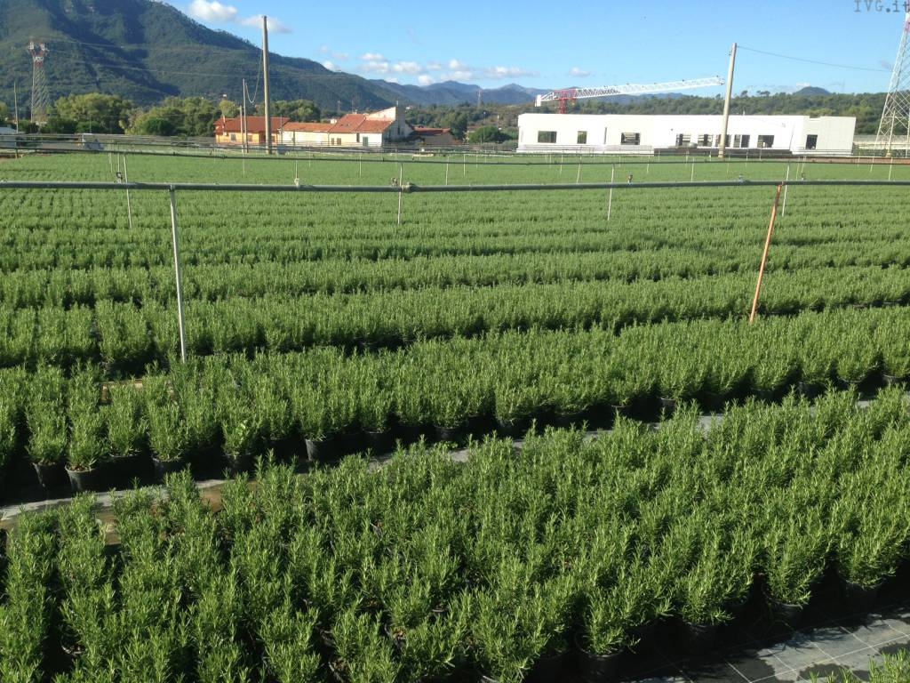 piante aromatiche albenga