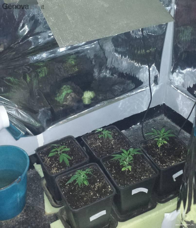 serre marijuana