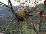apicoltura vespa velutina
