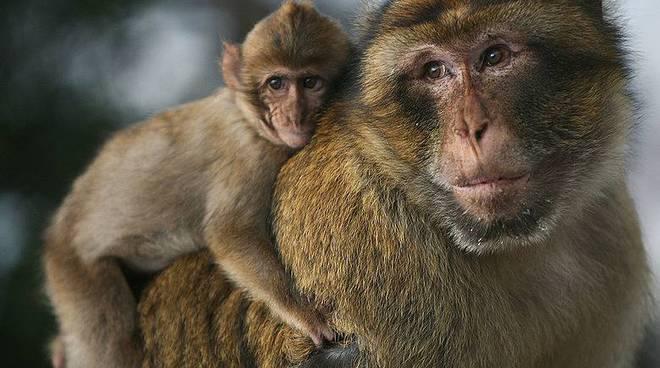 scimmia (wikipedia)