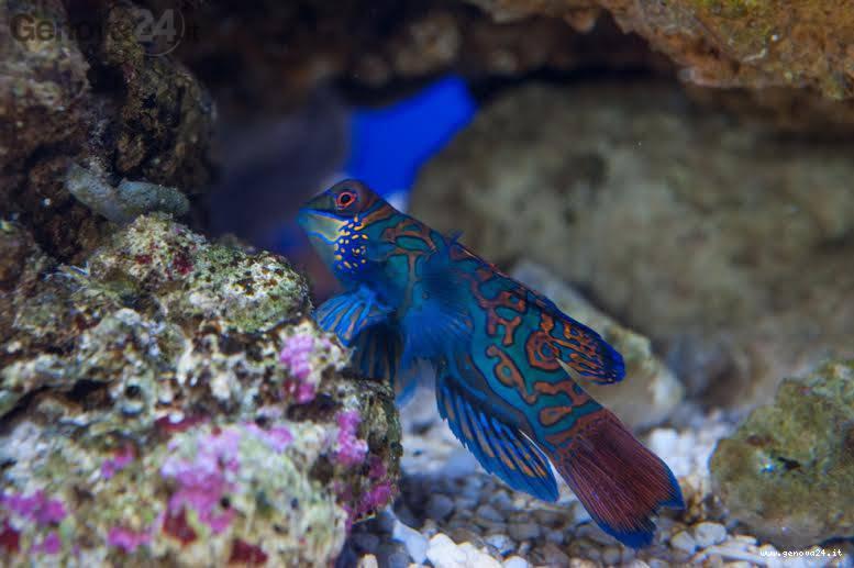 pesce pavone, fondale marino, fondale mare