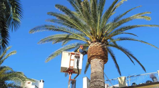 potatura palme loano