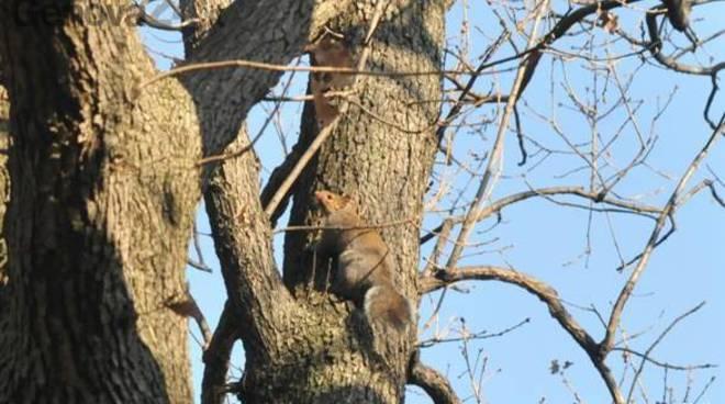 scoiattolo grigio sterilizzato