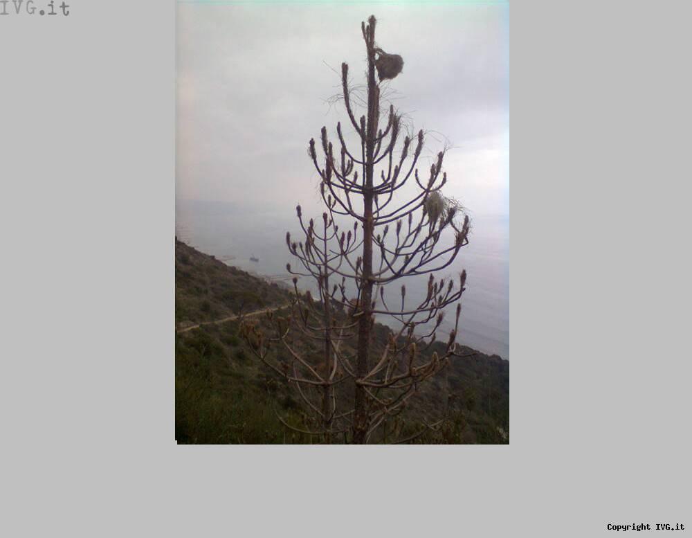 Monte Piccaro, Anpana lancia l'allarme: la pineta sta morendo