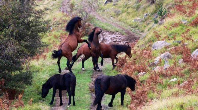 cavalli selvaggi val d'aveto