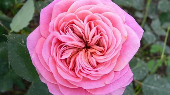 rosa duchessa di galliera