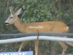 cervo capriolo cantiere terzo valico borzoli