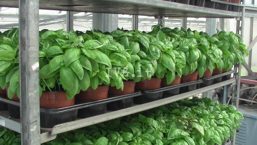 Basilico serre agricoltura