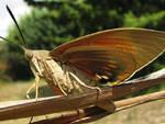 Farfalla assassina