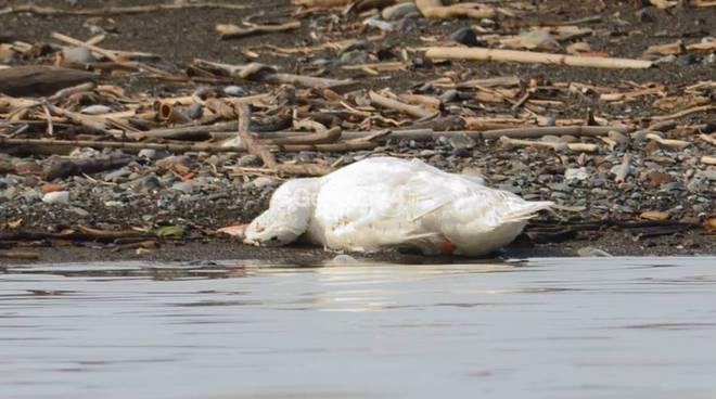 Moria di anatre e uccelli nell'oasi del fiume Entella