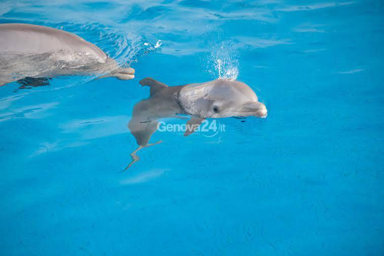 La cucciola di delfino all'Acquario di Genova