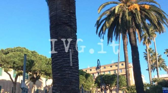 Albenga, le palme di piazza del popolo e piazza Petrarca curate per il punteruolo rosso