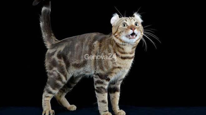 gatti esposizione felina