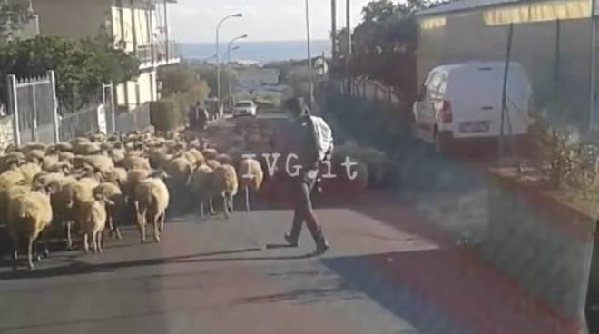 pecore ceriale