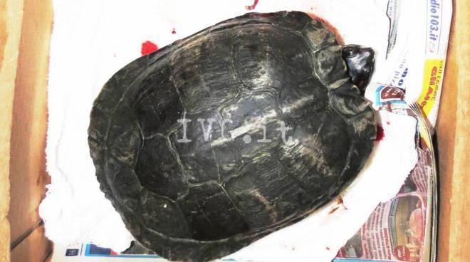 tartaruga ferita via de amicis