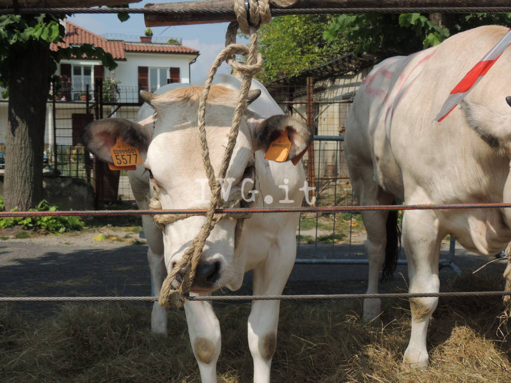 bestiame carcare