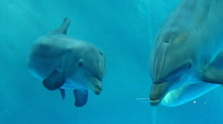 Acquario di Genova il battesimo del delfino Goccia