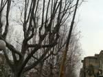 Albenga, prosegue la potatura degli alberi di viale Italia