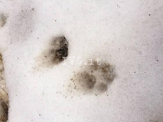 lupi roccavignale