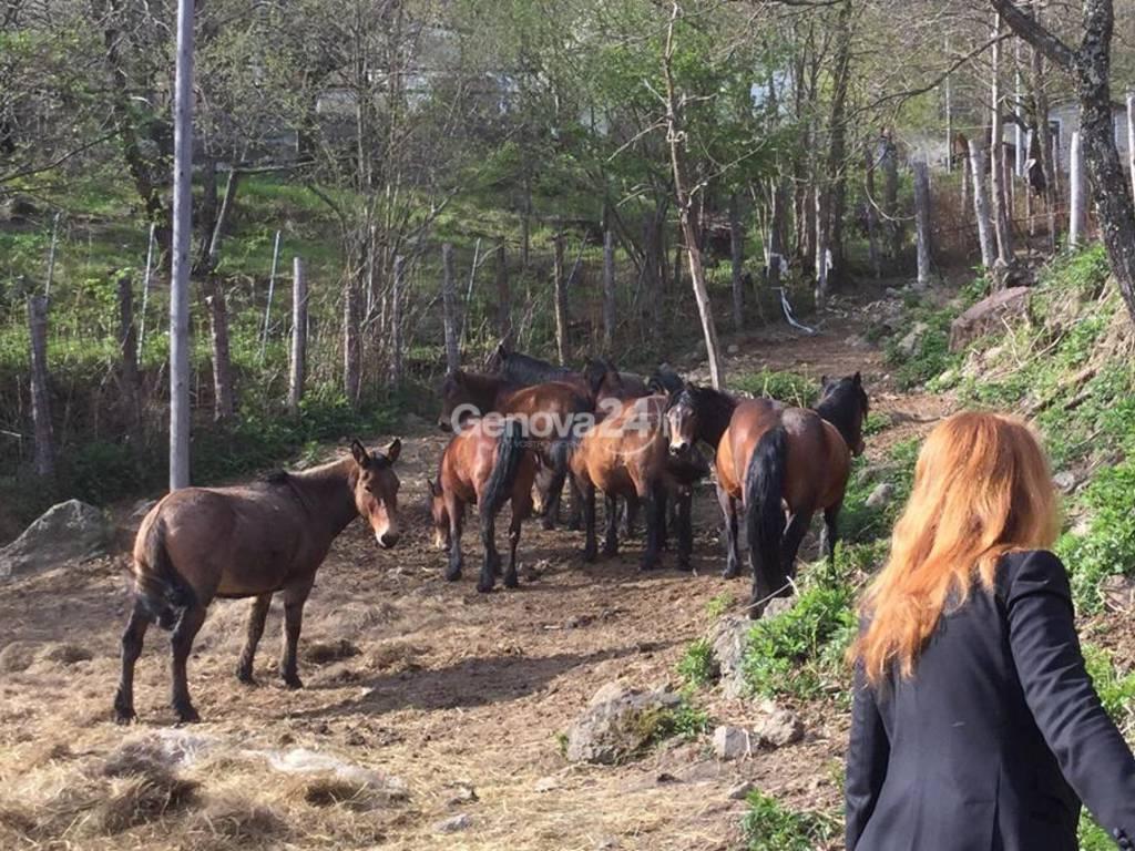 Cavalli selvaggi dell'Aveto