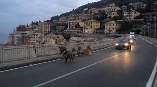 Cinghiali sul viadotto di Sori