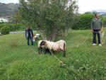 borghetto pecore