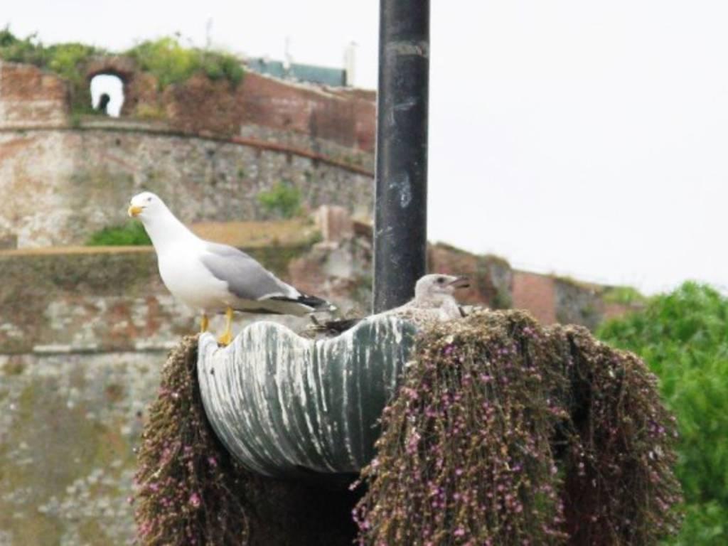 Nido Di Tortore Sul Balcone nidi di gabbiani su tetti e terrazzi, i consigli di enpa per
