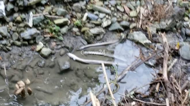 Trasta, moria di pesci nel rio che scorre sotto il cantiere del Terzo Valico