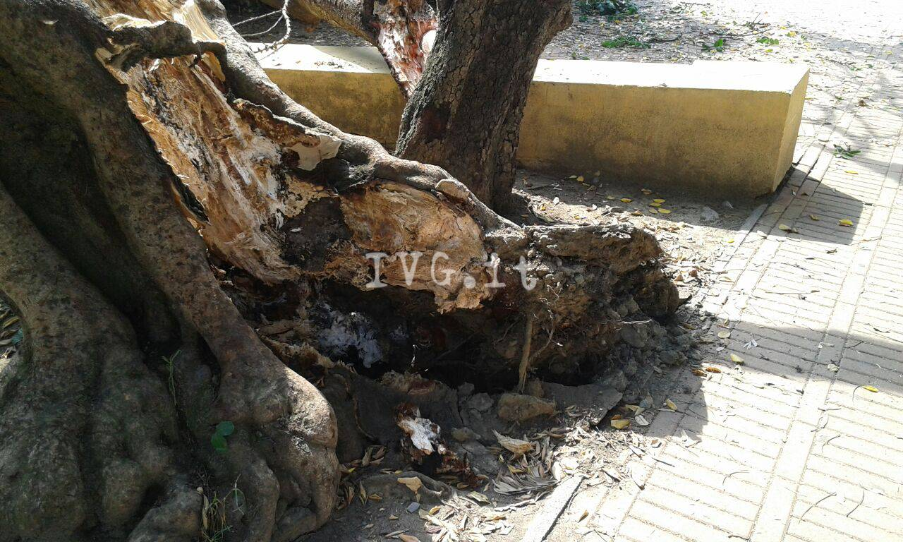 Albero di carrubo cade in piazza Europa ad Albenga