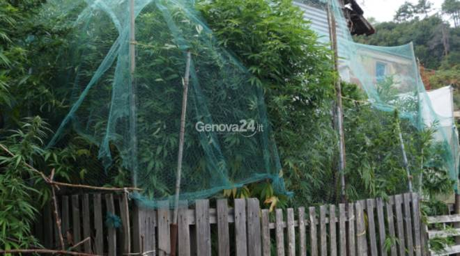 marijuana piantagione voltri