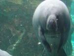 All'acquario di Genova è nato un cucciolo di lamantino
