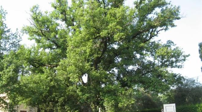 albero quercia san rocco garlenda