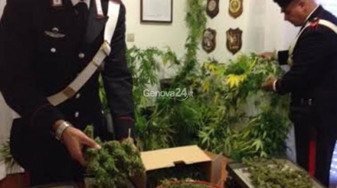Grande coltivazione di marijuana a Uscio