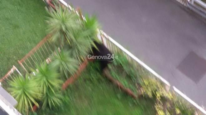 Cinghiale piomba in una giardino a Sestri Ponente