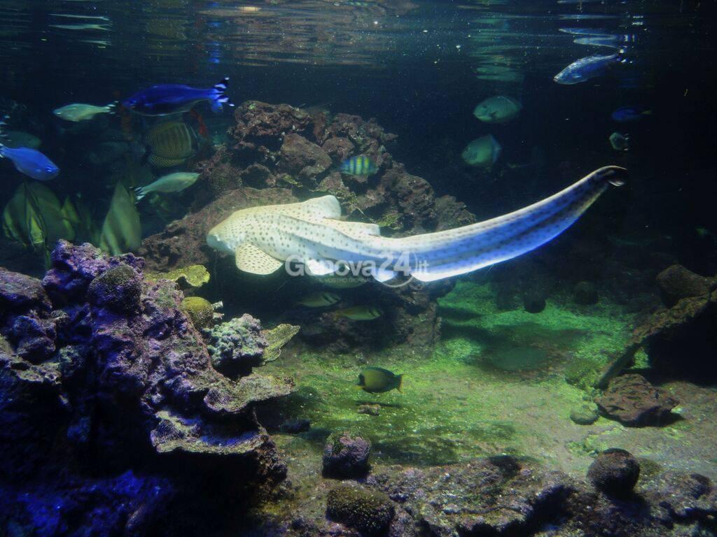 Il piccolo squalo zebra