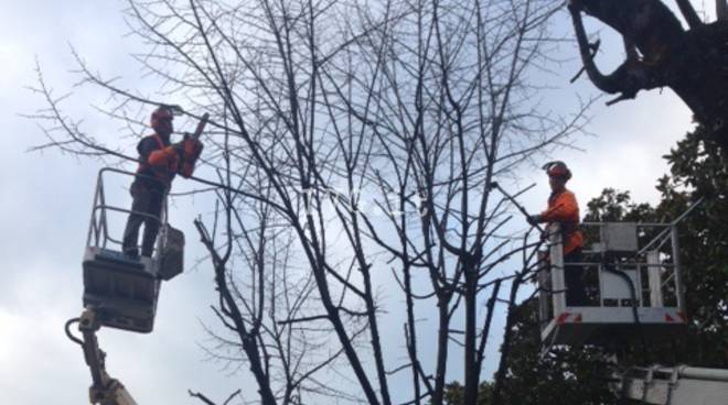 Albenga, abbattuti 19 alberi pericolanti in viale Pontelungo