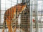 tigre circo animali