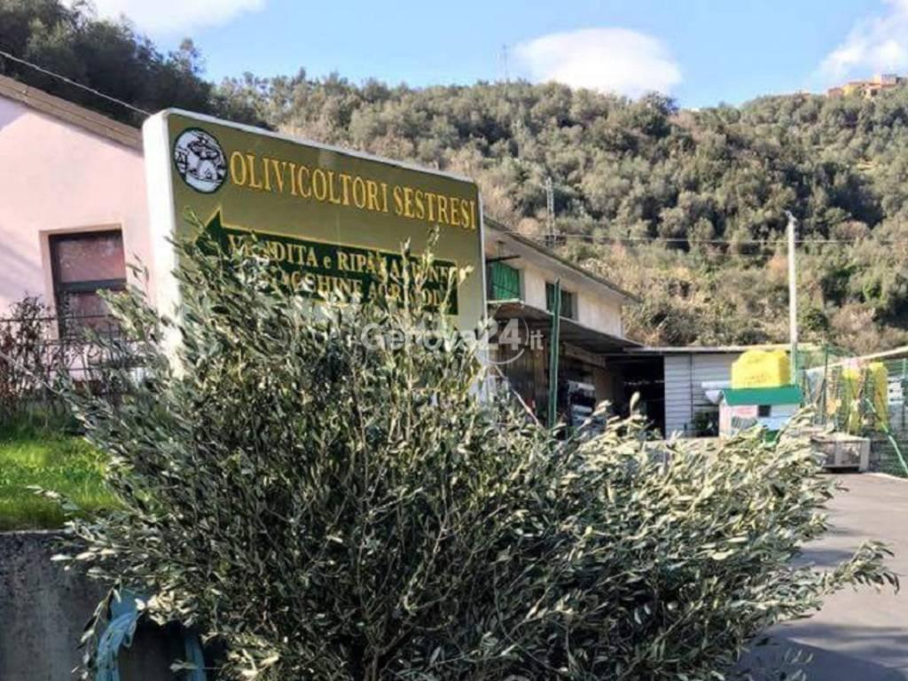Olivo, olivicoltori sestresi