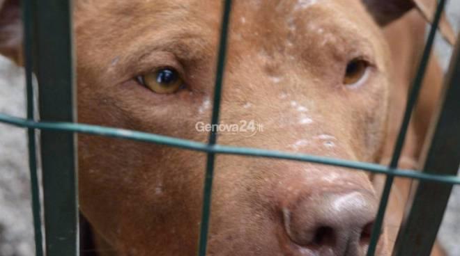 Combattimenti clandestini tra cani, coinvolto anche un genovese di 33 anni