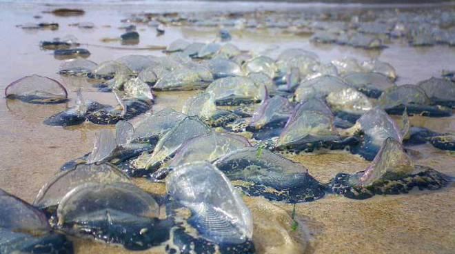medusa velella
