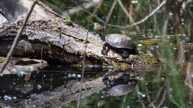 emys tartarughe