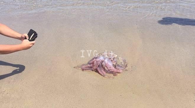 Medusa Spiaggiata Spotorno