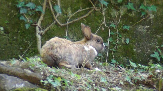 Bolzaneto, la sterminata colonia di conigli nell'ex ospedale Pastorino