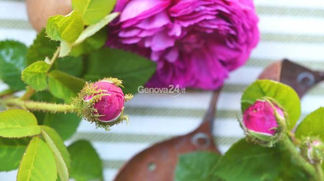 Rose della Valle Scrivia
